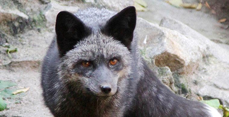 В Екатеринбургском зоопарке появился черный лис