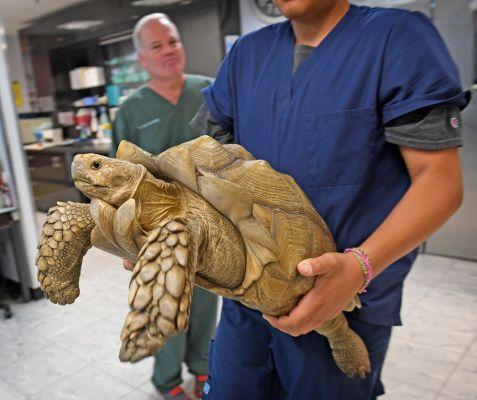 В США ищут хозяина сбежавшей 35-килограммовой черепахи