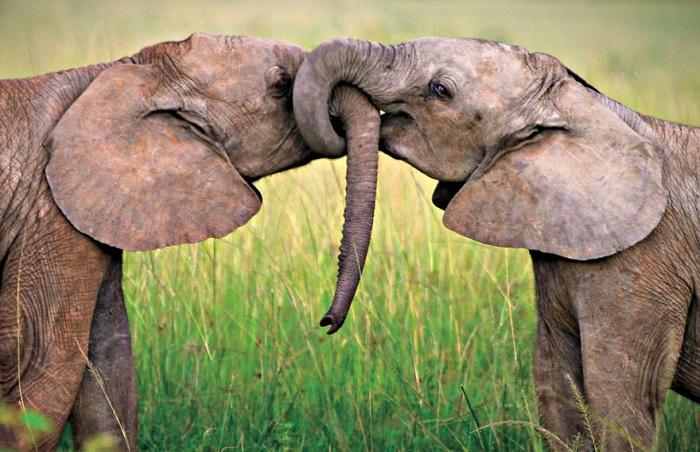 Любовь африканские слоны.