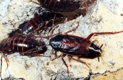 Черный таракан исчез