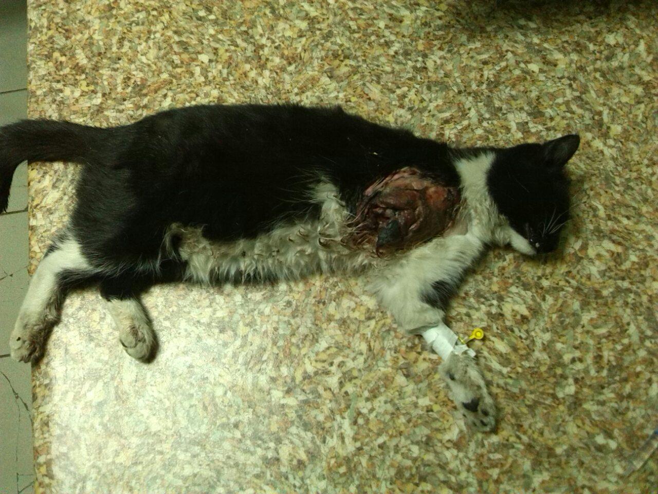 Покалечил и отбросил на тротуар… Из-за равнодушия водителя беременная кошка оказалась на грани жизни и смерти
