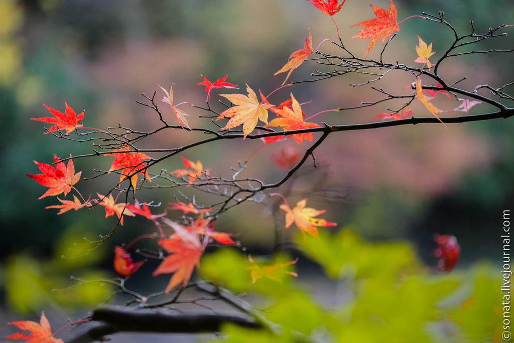 617 Клёны в ботаническом саду Кобе
