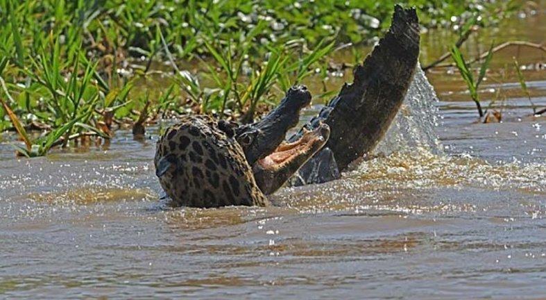 Ягуар смог одолеть каймана прямо в его родной стихии