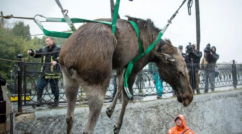 В Москве из пруда вытащили заблудившегося лося