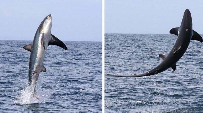 Туристы были шокированы тем, как высоко из воды смогла выпрыгнуть большущая лисья акула