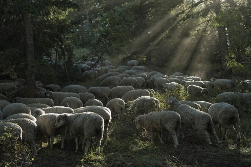 terraoko 2015012702 2 Праздник Трейлинг овец в Айдахо.