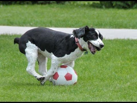 Собака нанесла травму футбол…