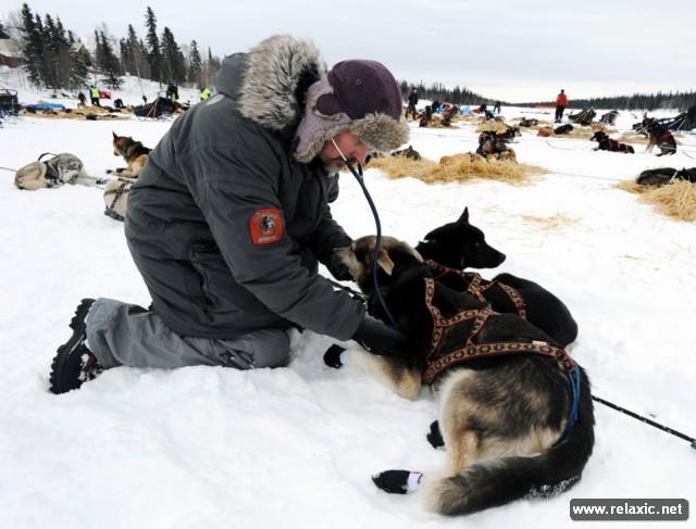 Гонка ездовых собак Iditarod-2013 (31 фото)