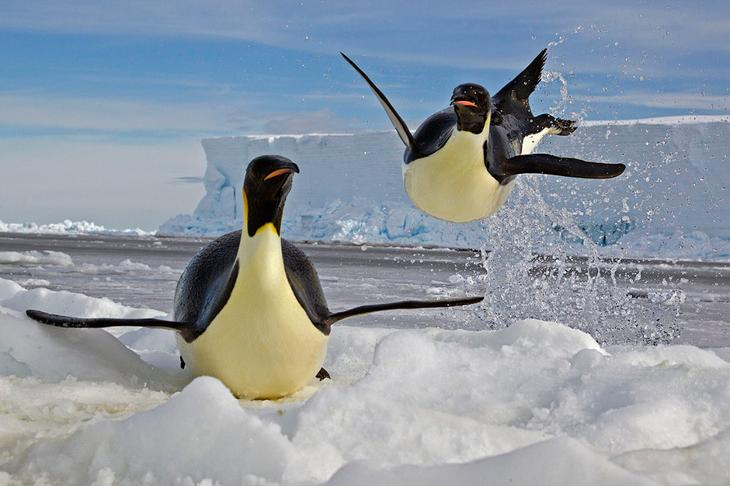 Пингвин выпрыгивает из воды на льдину