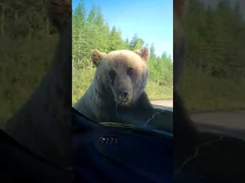 Медведь желает покататься...