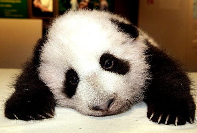 Картинки по запроÑу saddest panda