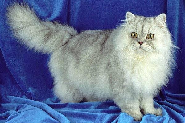 Самые дорогие кошки в мире (10 фото)