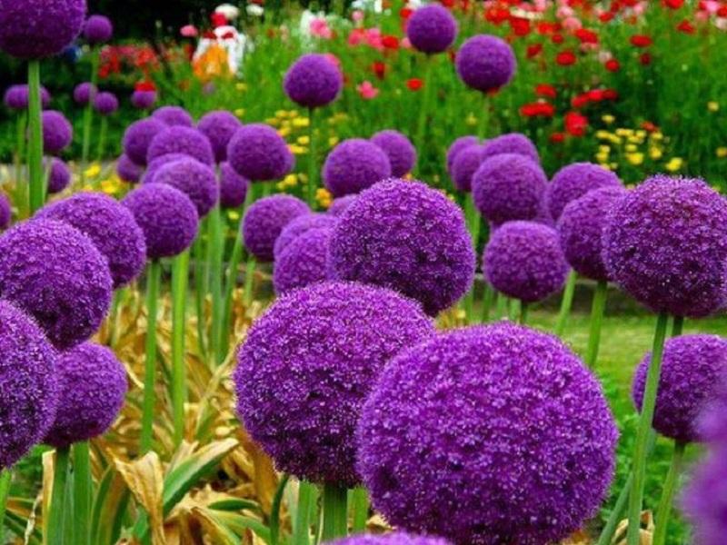 Аллиум, или декоративный лук, — идеальный цветок для наших широт