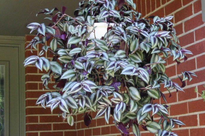 Вьющиеся растения дома: суеверия и реальные опасности