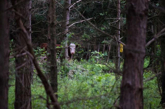 Корова сбежала с фермы и 8 месяцев прожила в лесу со стадом оленей