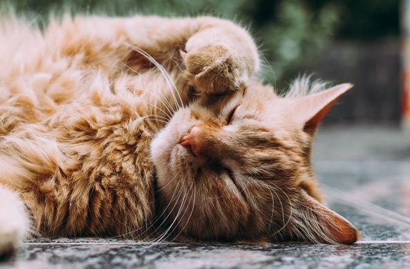 Кошка стала приемной мамой для сурикат
