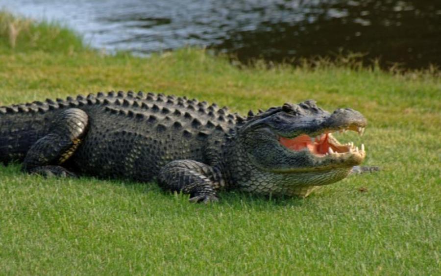 """Гигантский аллигатор """"захватил"""" домашний бассейн: появились жуткие кадры"""