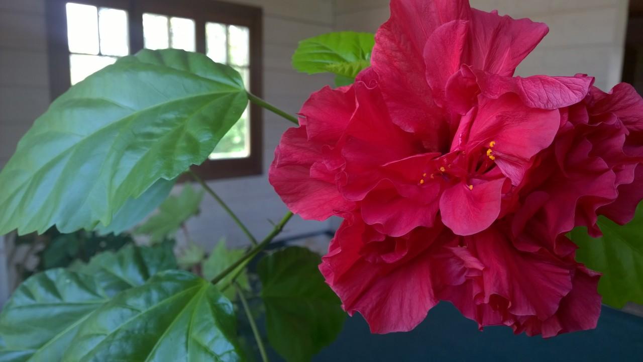 Почему гибискус называют цветком смерти?