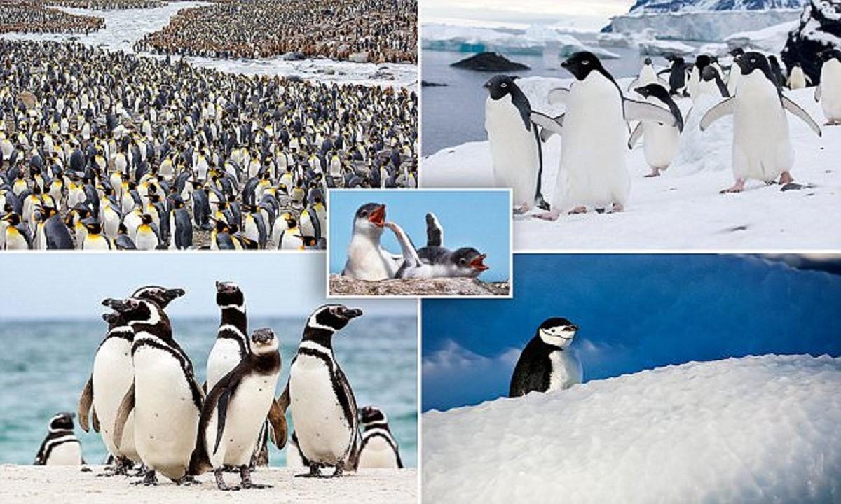 Невероятно очаровательные пингвины от фотографа, влюбленного в Антарктику