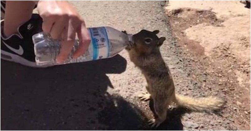 Измученная жаждой белка жадно пьет воду из бутылки