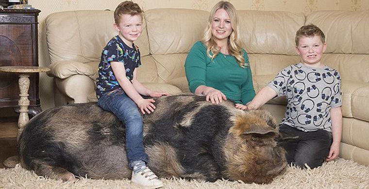 У женщины в Англии домашний питомец — свинья весом 222 кг