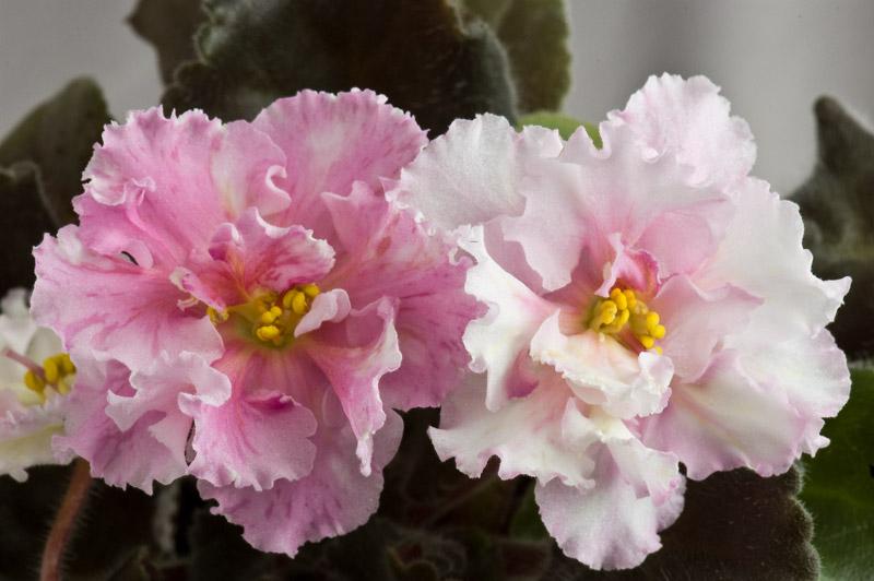 А вот эта сенполия зацвела. ЕК-Сахара. Floraflora.ru