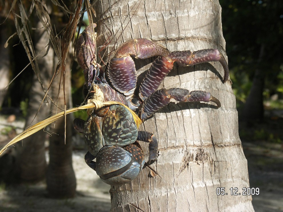 Coconutcrab13 Самый крупный представитель членистоногих, кокосовый краб!