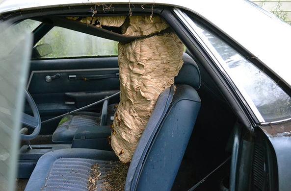 Шершни свили огромное гнездо в старом Шевроле