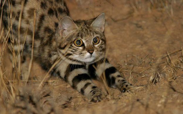 Специалисты выявили самую опасную кошку в мире