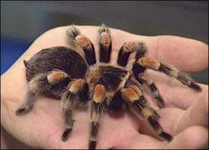 Содержание тарантула у домашних условиях 615