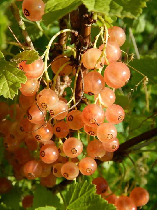 Смородина, ягоды, Лечит природа