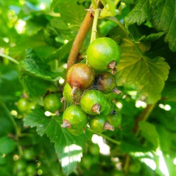 Кто ест ягоды смородины. Как защитить урожай