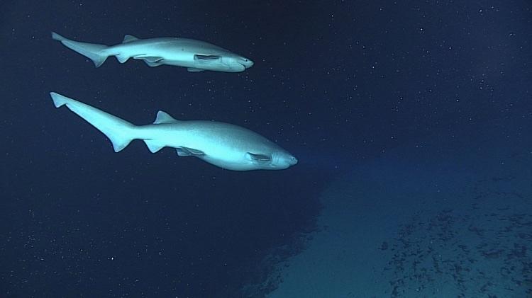 Шестижаберные акулы (самец и самка)