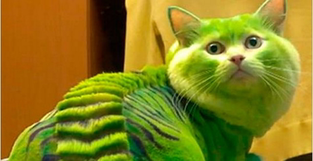 Видео: Кошка дракон набирает моду