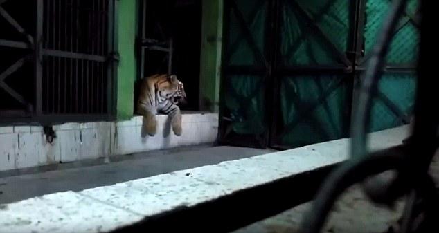 Амурский тигр убил подругу на глазах у посетителей зоопарка