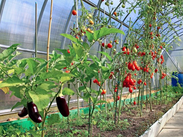 Ripening tomatoes and eggplant in greenhouse of polycarbonate