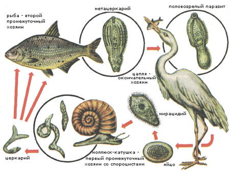 паразиты от речной рыбы