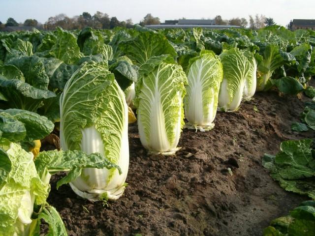 Пекинская капуста — особенности выращивания