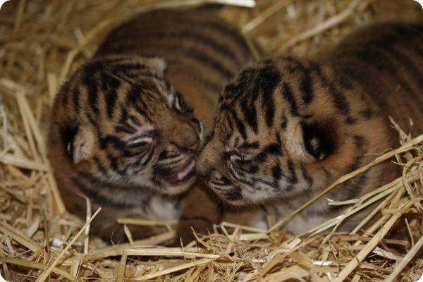В зоопарке Гамильтона родились суматранские тигрята
