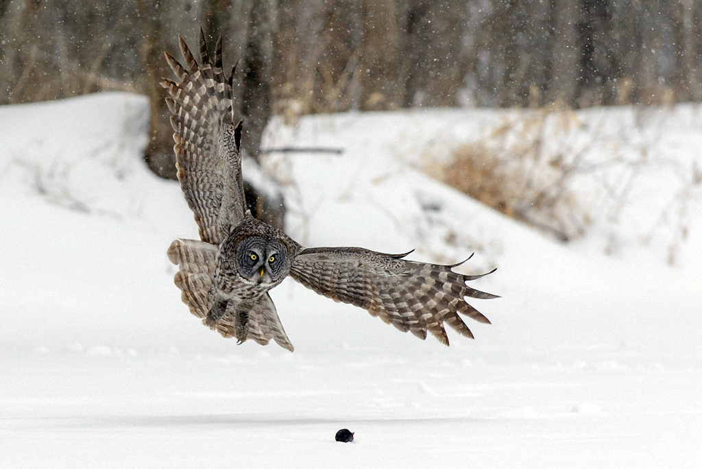 Как сова ловила мышь