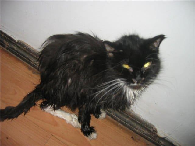Кошка с обморожениями не могла есть и пить, но при виде девушки замурлыкала из последних сил