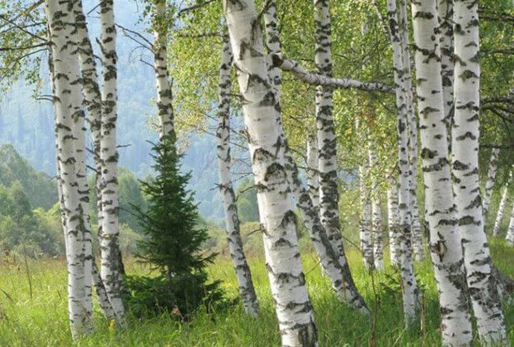 Эти 6 главных пород дерева помогут выжить в лесу