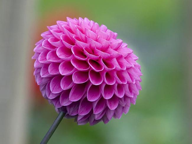 Многолетняя астра - красивый цветок на фото