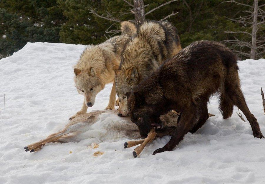 Медведь отжал оленя у стаи волков