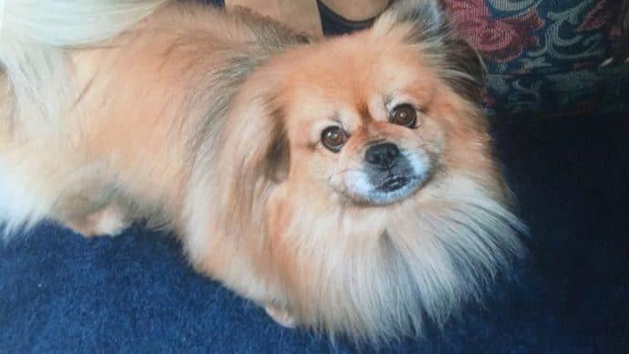 Девочка решила усыпить пекинеса и сняла видео прощания… Но пёс прямо в кадре сделал то, что спасло ему жизнь