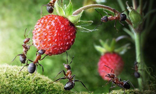 Вредители клубники: как распознать и бороться