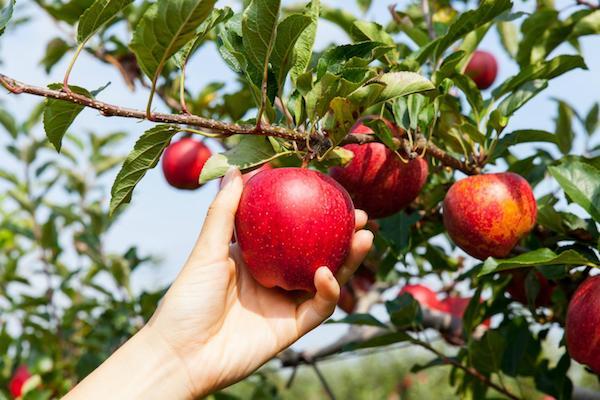 Как в два раза повысить урожай яблок