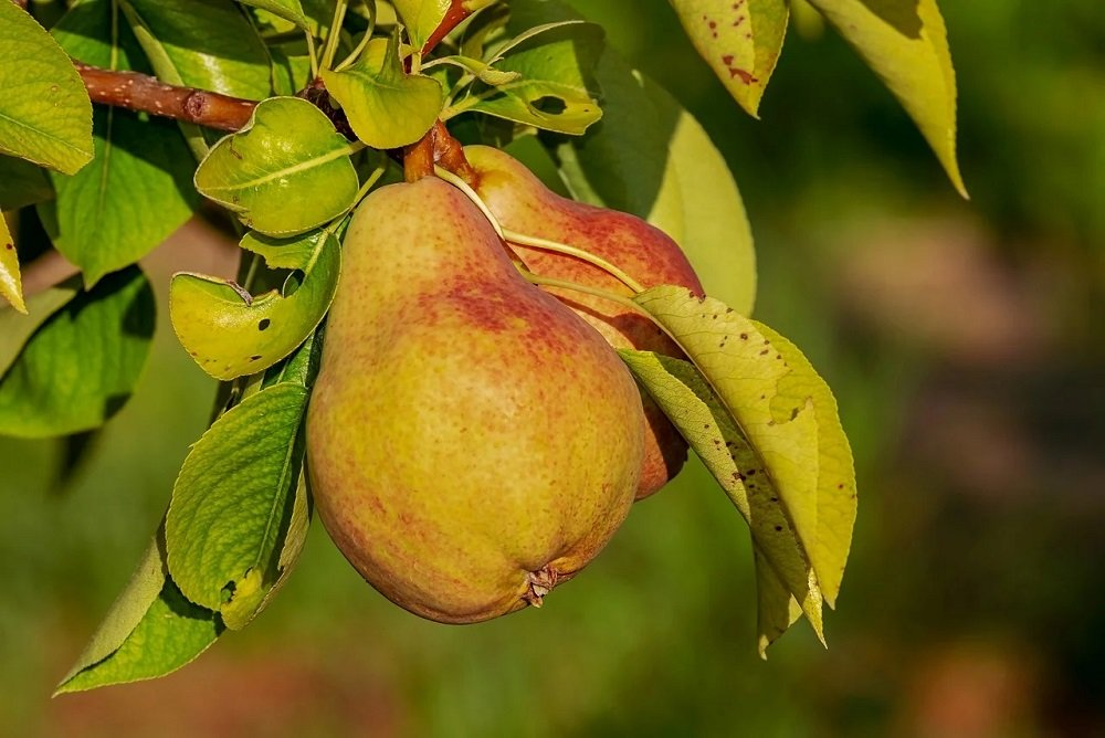 Назван самый полезный для кишечника фрукт…