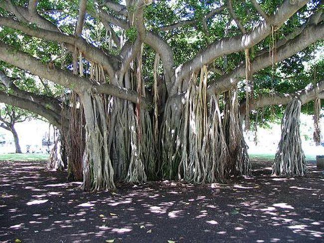 Крона этого дерева измерялась в 1929 году – тогда она была 300 метров… Но с того времени дерево выросло ещё больше.