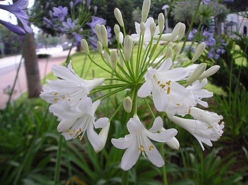 Агапантус зонтичный — Agapan…